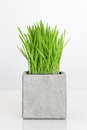 Wheatgrass growing in concrete pot Royalty Free Stock Photo