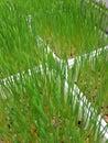 Wheatgrass in pot Royalty Free Stock Photos