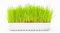 Wheatgrass wheat grass Royalty Free Stock Photo