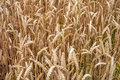 Wheats Macro Detail in Field Royalty Free Stock Photo