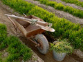 Wheelbarrow with tools in a spring garden old between vegetable beds growing wheat as green manure Royalty Free Stock Image