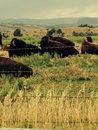 Where the buffalo roam resting in a field Stock Images