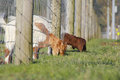 Where the grass is greener two goats find on other side of fence Stock Image