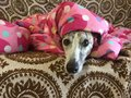 Whippet in blanket keeping warm soft Stock Images