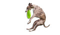 Whippet catches frisbee green isolate Royalty Free Stock Photo