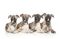 Whippet puppies posing in front of white background Royalty Free Stock Photo