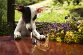 Whippet puppy looks at the big black stag beetle nearby lies bouquet of wild flowers and herbs oregano and st john s wort Stock Image