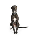 Whippet on a white background Stock Image