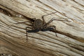 Whiptail scorpion spider tailless on a tree stump Stock Photography