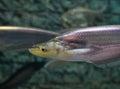 Whisker sheatfish on aquarium fish Royalty Free Stock Image