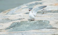 Whiskered Tern Stock Images