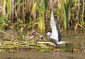 Whiskered tern family chlidonias hybrida female feeding the chicks Stock Image