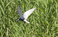 Whiskered tern in flight chlidonias hybridus searching for fish Royalty Free Stock Photography