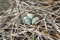 Whiskered Tern nest with eggs (Chlidonias hybrida) Royalty Free Stock Photography