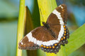 White admiral butterfly perched on a leaf Royalty Free Stock Images