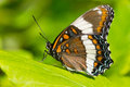 White admiral butterfly perched on a leaf Royalty Free Stock Photo