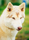 White adult siberian husky dog sibirsky husky sitting in green grass outdoor Royalty Free Stock Images