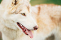 White adult siberian husky dog sibirsky husky sitting in green grass outdoor Royalty Free Stock Image