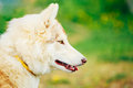 White adult siberian husky dog sibirsky husky sitting in green grass outdoor Stock Image