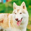 White adult siberian husky dog sibirsky husky sitting in green grass outdoor Stock Photography