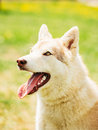 White adult siberian husky dog sibirsky husky sitting in green grass outdoor Royalty Free Stock Photography
