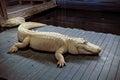 White aligator Royalty Free Stock Photo