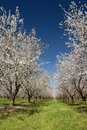 White Almond Blossoms Stock Photos