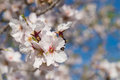 White almond flowers Royalty Free Stock Photography