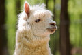 White alpaca closeup view of Royalty Free Stock Photo