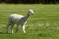 White Alpaca in a field Stock Images