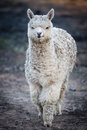 White alpaca a unshared about a year old Stock Photo