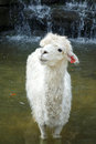 A white alpaca in the water Royalty Free Stock Photos