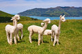 White alpacas group of are on backgrounds of fiord south island new zealand Royalty Free Stock Images