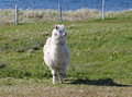 White alpaga they are only three on miquelon island their wool serves to make sweaters and scarfs for locals and tourists Royalty Free Stock Images