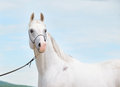 White amazing arabian stallion at sky background cloudy Stock Image