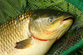 The White Amur - Grass Carp. Royalty Free Stock Images
