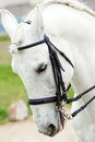 White andalusian horse close up lateral of an head pre Stock Images