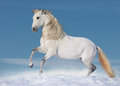 White andalusian horse paddock Royalty Free Stock Photography