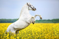 White andalusian rearing stallion in flowers Stock Photos