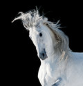 White andalusian stallion over black Stock Image