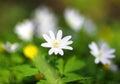 White Anemone Flower Macro