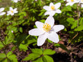 White anemone flower windflower at forest floor in sunlight Stock Photography