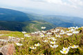 White anemone flowers wild growing and blooming on the hillside meadow in karkonosze national park mountains clouds and sky in Stock Photo