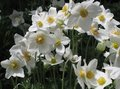 White Anemones In Bloom Royalty Free Stock Photo