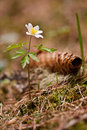 White anemones in forest anemone and fir cone the spring Stock Image