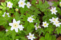 White anemones in swedish forest spring Stock Photography