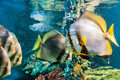 White angelfish black striped yellow tail Royalty Free Stock Image