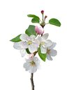White apple flowers branch isolated on background Royalty Free Stock Photo