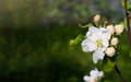 White apple flowers and pink buds. Green blurred background. Royalty Free Stock Photo