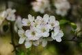 White apple tree flower Royalty Free Stock Photo